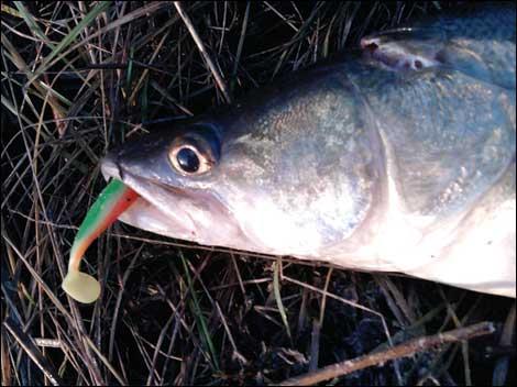 рыбалка с плотвицей